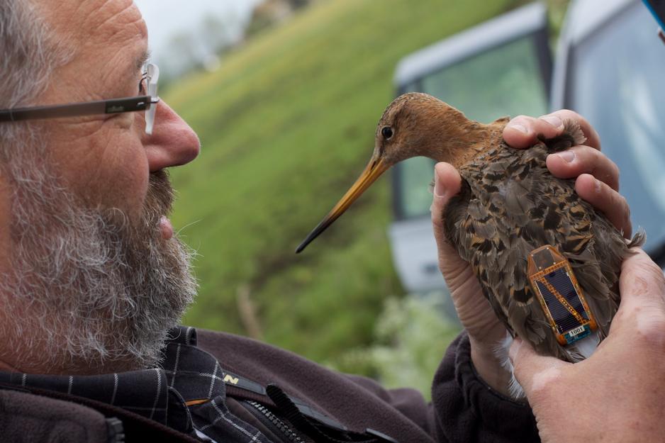Bird Data Logger : Figure a lesser black backed gull in flight sporting